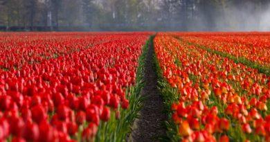 Тюльпановая лихорадка в Голландии.