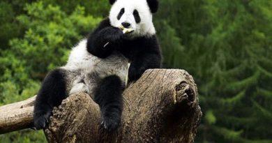 В Китае теперь нельзя фотографировать и кормить панд