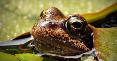Зачем лягушка высовывает голову над поверхностью воды?  ( Природа )