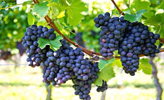 Подарок природы – виноград
