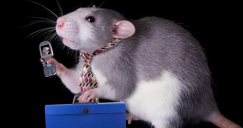Излучение от мобильных телефонов может вызвать рак сердца у крыс