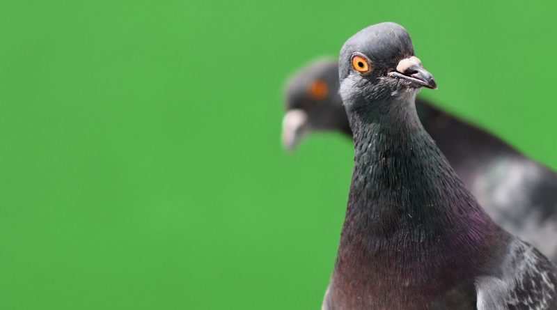 Самый дорогой голубь в мире