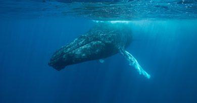 Горбатые киты в Доминикане: Где и когда можно увидеть горбачей в океане