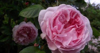 10 лучших сортов крупных роз-клаймеров