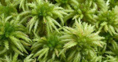 Что такое мох сфагнум: как использовать это растение