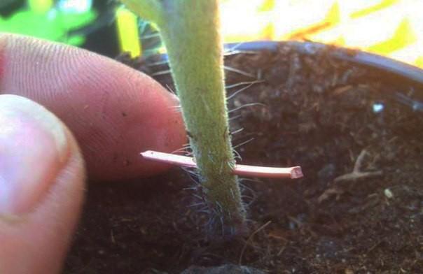 Фитофтора на помидорах лечится с помощью медной проволоки