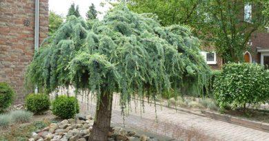 Хвойные растения: советы по подбору и посадке
