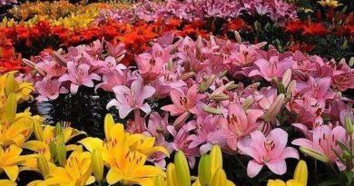 Как добиться пышного цветения лилий