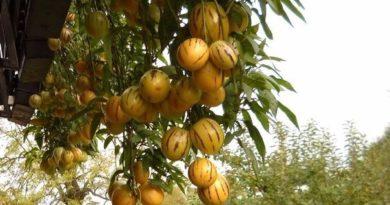 Пепино: брат баклажана со вкусом дыни