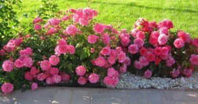 Варианты посадки роз