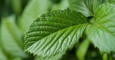 Земляничные листья: удалять или сохранять?