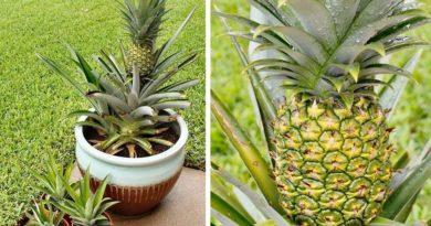 9 правил выращивания ананасов в домашних условиях!
