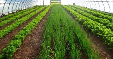 Бизнес идея: Выращивание зелени, укропа и лука