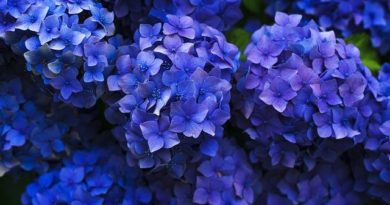 Чем подкормить гортензию для пышного цветения