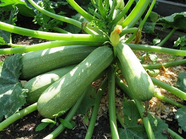 едят ли семена кабачков