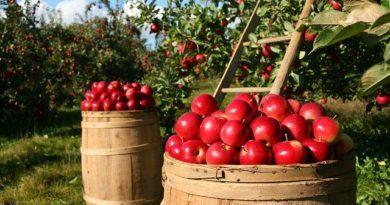 Как рассадить плодовые деревья?