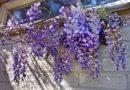 Растения, которые замаскируют неприглядный забор и заметно преобразят участок