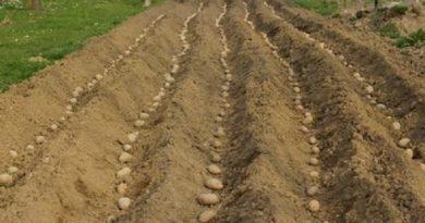 Удачный старт – подкормка картофеля при посадке
