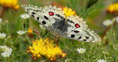 Аполлон - одна из самых красивых бабочек средней полосы России