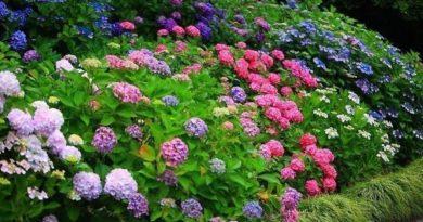 Гортензия – магия разноцветных облаков