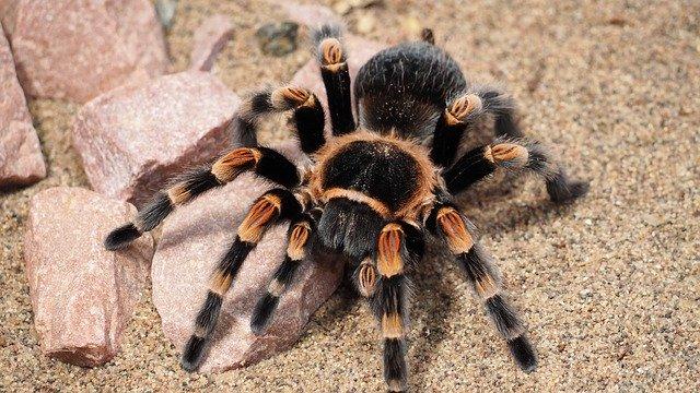 Из яда тарантула получили полезное лекарство