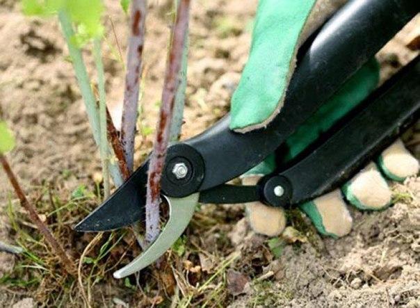 Как обрезать ягодные кусты
