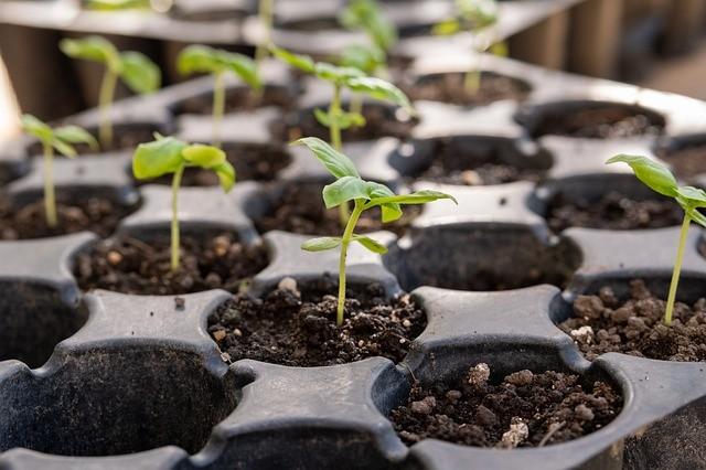 Как правильно поливать рассаду помидоров и перцев