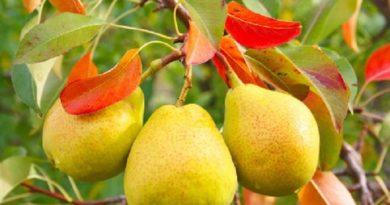 Способы защиты грушевых деревьев