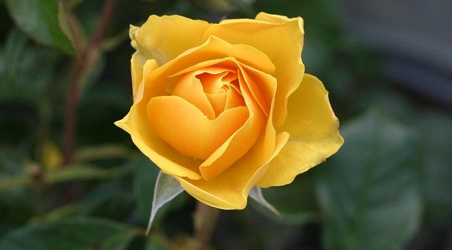 Суперсредства, которые избавят от черных пятен на листьях розы