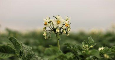 Черная ножка на картофеле: меры борьбы
