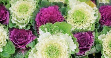 Декоративная капуста. Выращивание из семян