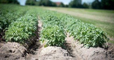 Картофель. 10 правил получения раннего урожая