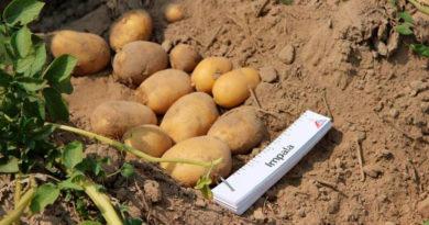 Картофель Импала: характеристики сорта