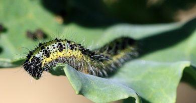 Избавление от главного вредителя капусты — бабочки-капустницы