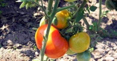 Какие листья обязательно нужно удалять у томатов