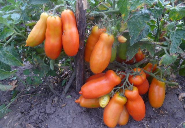 Томат Дрова: внешний вид и особенности выращивания сорта