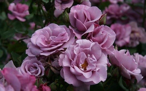 Выращиваем розы из семян, собранных на вашем садовом участке