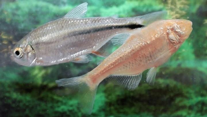 Мексиканская рыба научит людей восстанавливать ткани сердца после инфаркта
