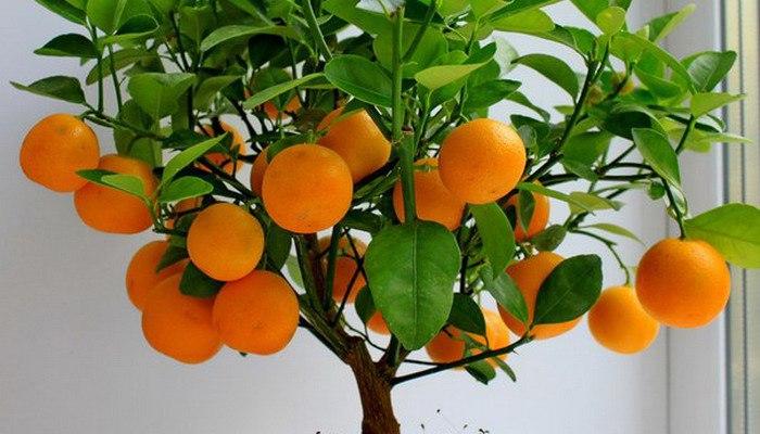 Как вырастить мандарин из косточки в домашних условиях. Инструкция.