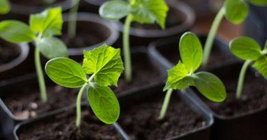 Свежие огурчики к новогоднему столу — выращиваем дома
