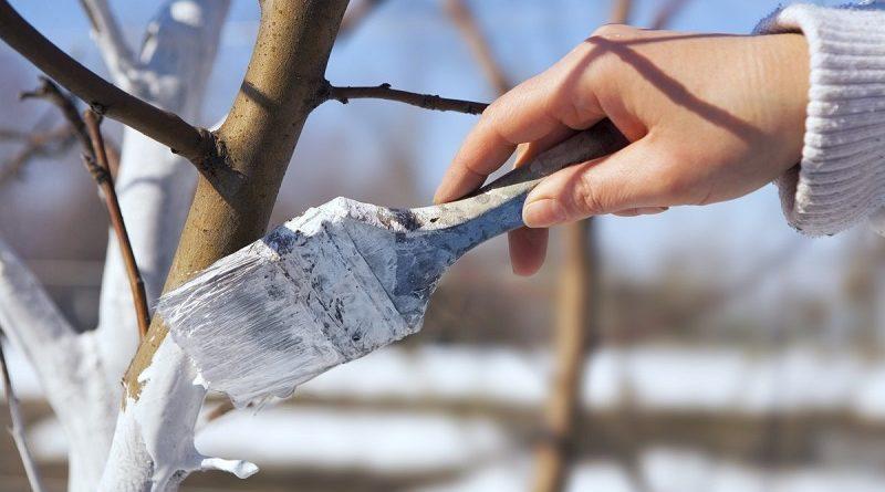Сезонная побелка садовых деревьев: как ее проводить и для чего она нужна