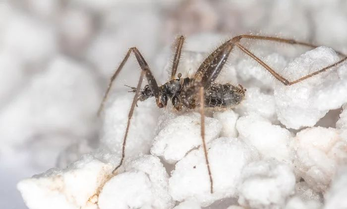 Хионея или бескрылый зимний комар