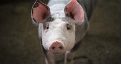 Разделка туши свиньи своими руками