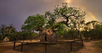 Странные деревья-тюрьмы. Для чего они нужны австралийцам