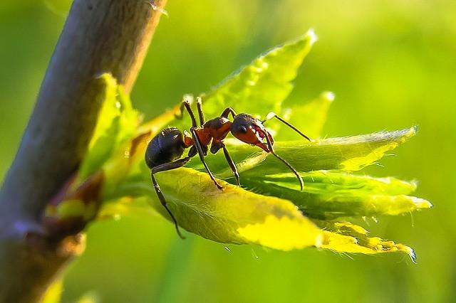 Боремся с муравьями эффективно — насекомые исчезнут благодаря обычной манке
