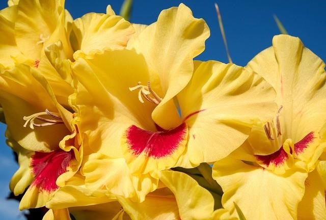 Чем подкормить гладиолусы для их роскошного цветения