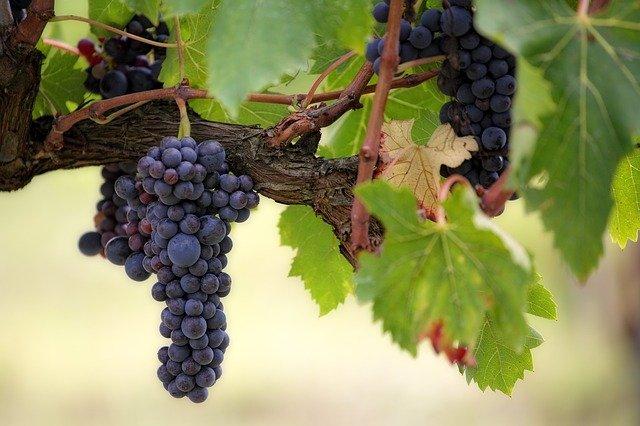 Как эффективно ускорить созревание винограда