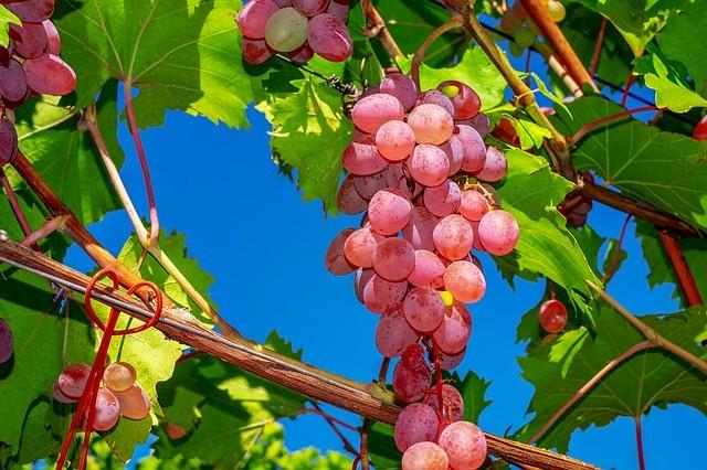 Как правильно выбирать виноград: на что нужно смотреть покупателям