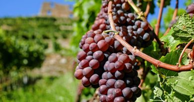 Когда обрезать виноград: советы для новичков