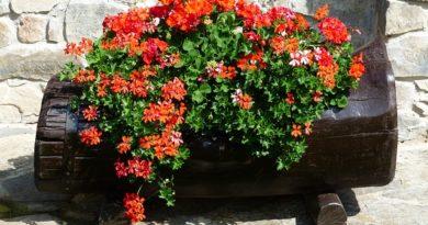 Обрезка пеларгонии для обильного цветения весной